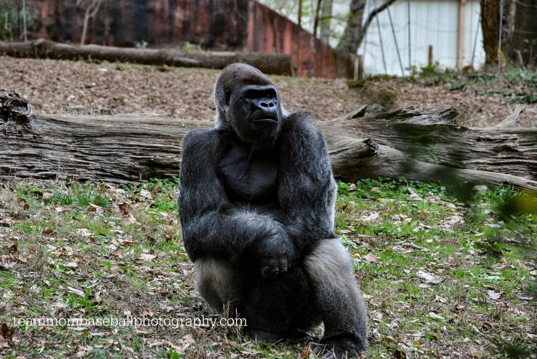 gorillawatermark