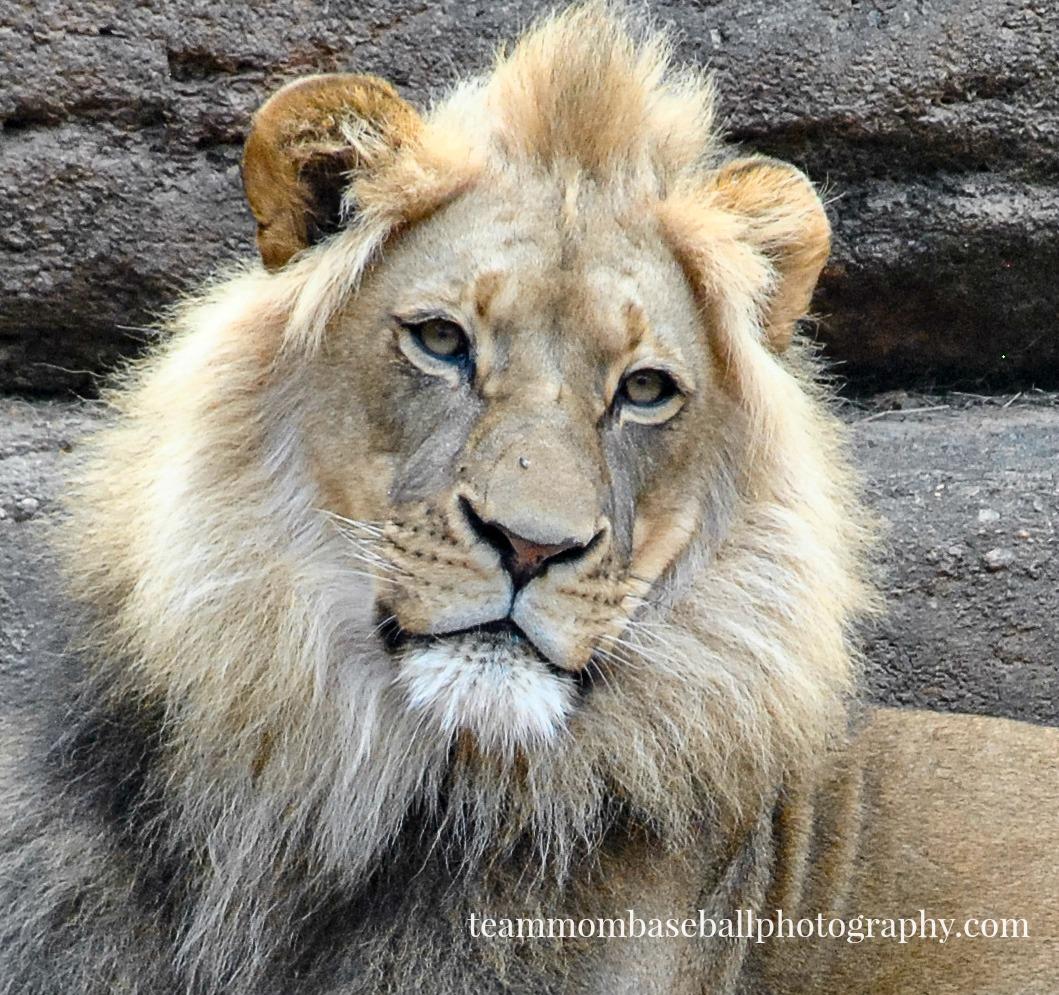 lion-watermark