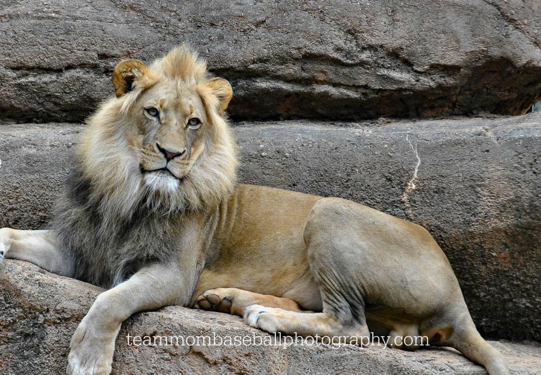 lion2watermark