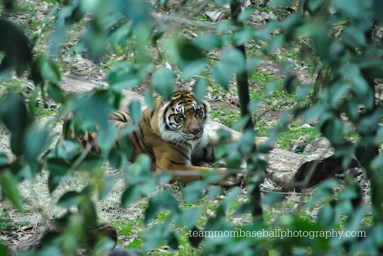 tigerwatermark