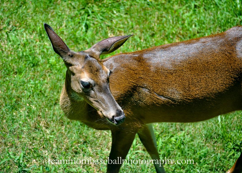 Deer-6