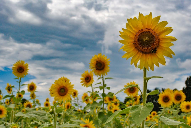 SunflowersWM-10