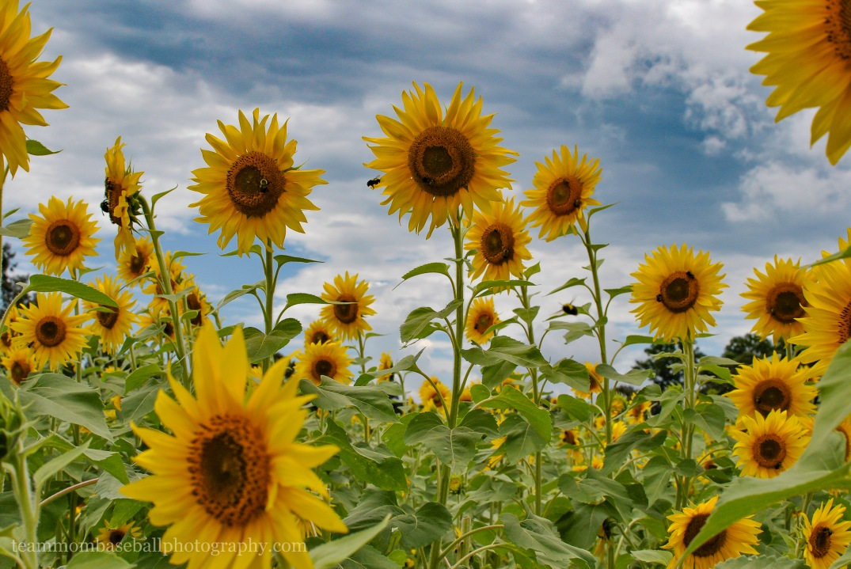 SunflowersWM-11