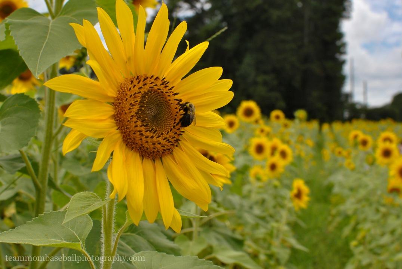 SunflowersWM-12