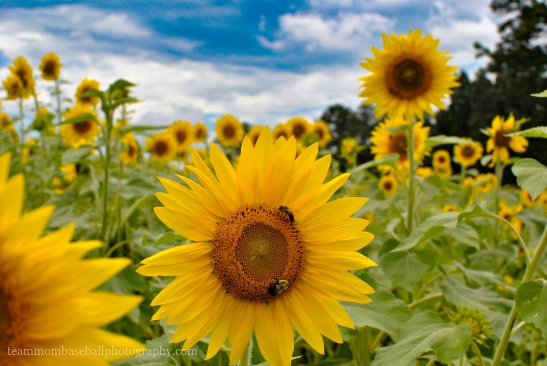 SunflowersWM-13
