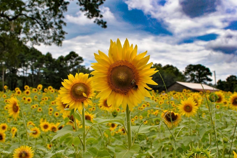 SunflowersWM-14