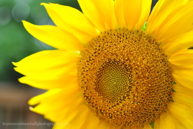 SunflowersWM-17