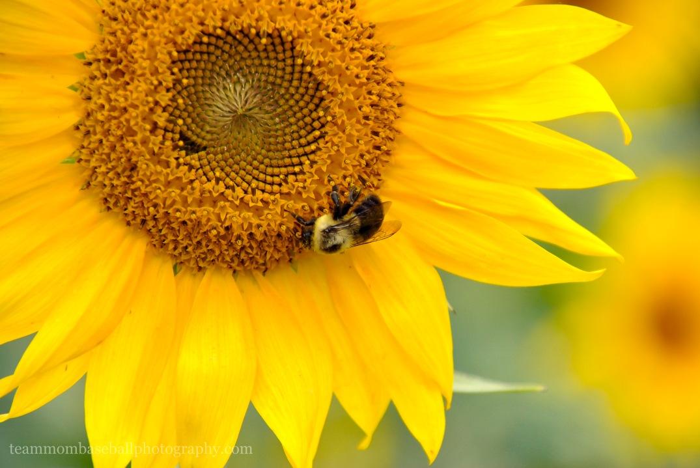SunflowersWM-2