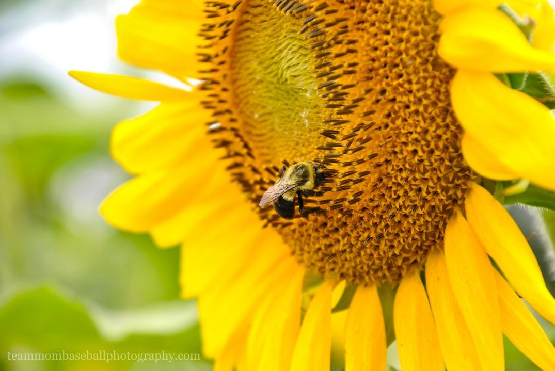 SunflowersWM-3