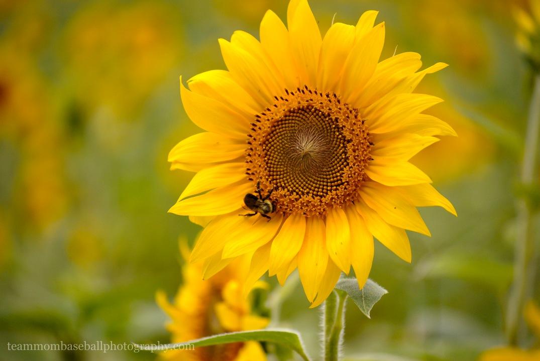 SunflowersWM-4