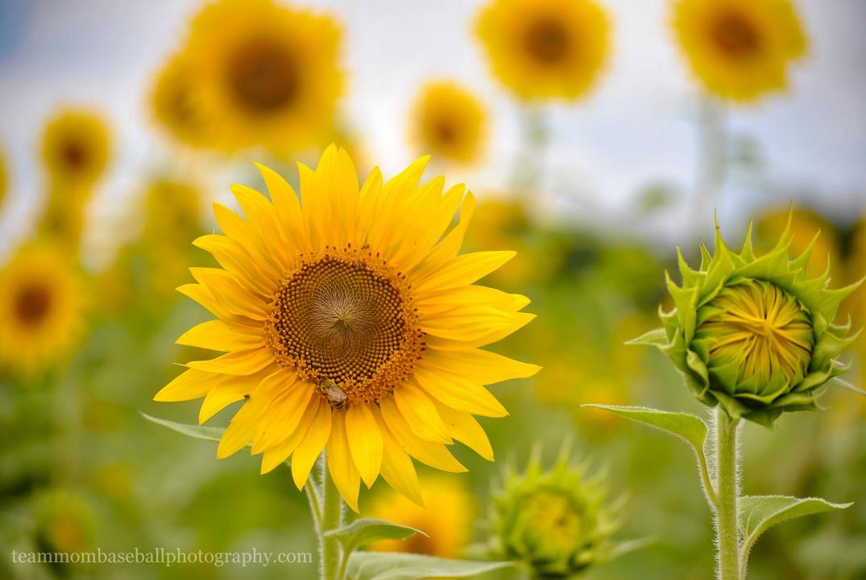 SunflowersWM-5