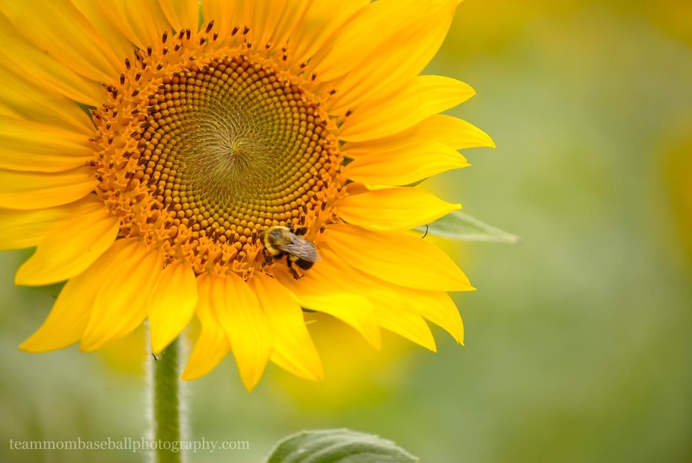 SunflowersWM-6