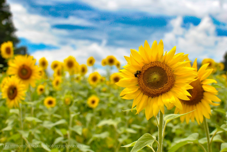 SunflowersWM-8