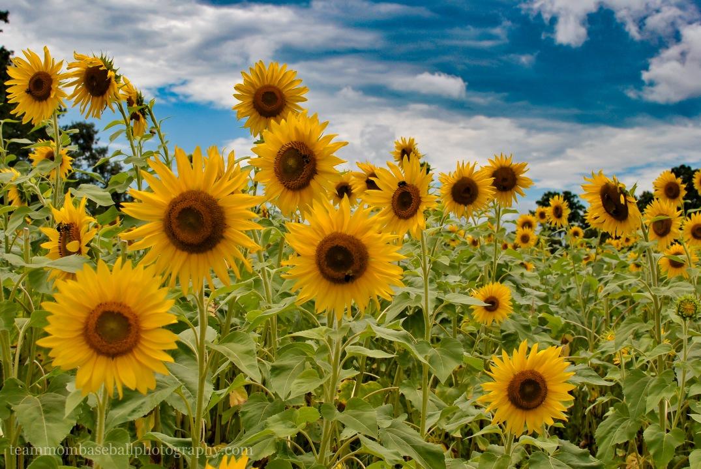SunflowersWM-9