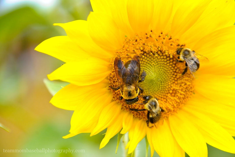 SunflowersWM
