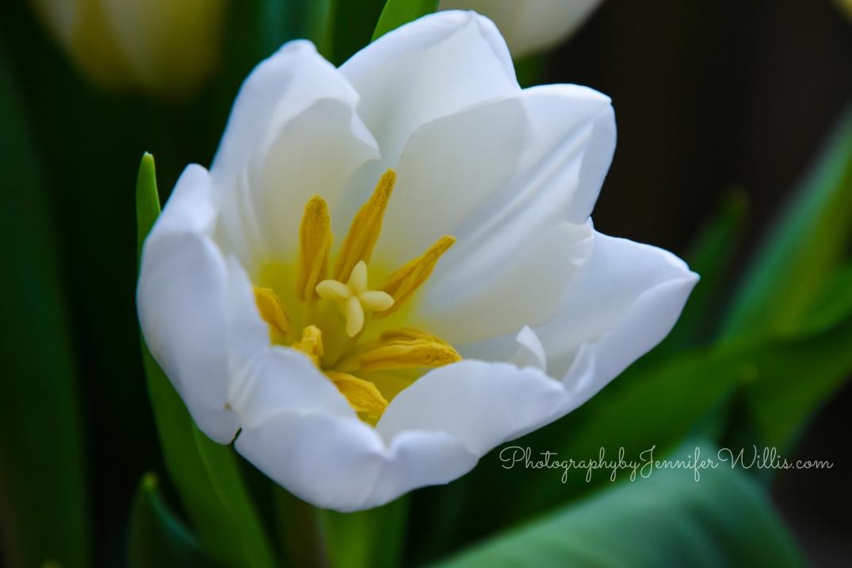 LR Tulips-3 WM