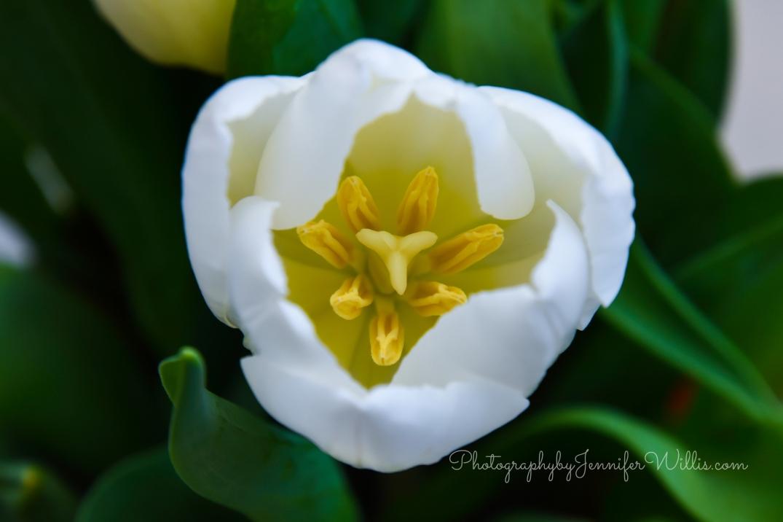 LR Tulips WM